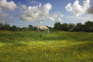 horse-in-field-of-flowers-1440517-m