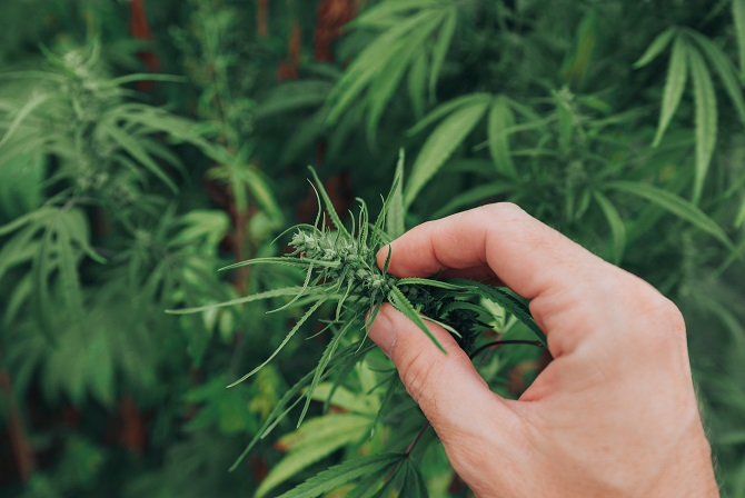 Dlaczego feminizuje się nasiona konopi?